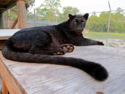 Black panthers are not protected by AZA zoos and S. 3547 will eliminate them from captivity